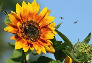 busy-bees-on-sunflower-cindi-ressler